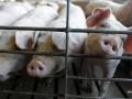 В двух областях зафиксировали новые вспышки чумы свиней
