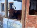 На жителя Одесчины завели дело за жестокость с коровами