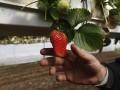 В Украине резко выросла цена на клубнику