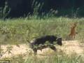 В ЮАР буйвол напал на львенка, защищая ящерицу