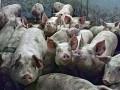 В оккупированном Крыму вводят карантин из-за вспышки чумы свиней