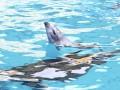 В одесском дельфинарии во время шоу родился дельфиненок