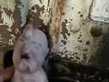 В Китае родился поросенок-мутант: хобот на лбу и