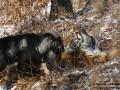 Умер прославившийся дружбой с тигром Амуром козел Тимур