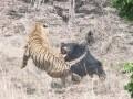 В Индии сняли на видео схватку медведя с тигром