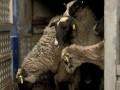 Утилизация овец: Зоозащитники будут пикетировать Госпотребслужбу
