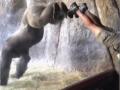 В США обнаружилась горилла-йог