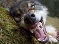 В Житомирской области на сельских жителей напал волк