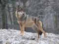 Бешенная волчица покусала трех человек под Запорожьем
