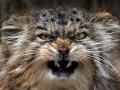 Погладь кота: Злобный манул стал новой звездой интернета (ФОТО)