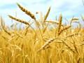 Запасы зерновых в Украине за год существенно сократились