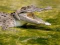 Редкого крокодила убили за нападение на сотрудницу зоопарка