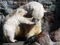 В России полярные медведи окружили село