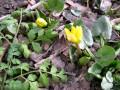 Аномальная зима: в Днепре зацвели весенние цветы