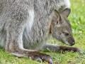 Животные недели: белый кенгуренок и черные какаду