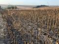 В Полтавской области загорелось 130 га кукурузы