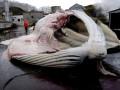 Исландия впервые за 17 лет остановила китобойный промысел
