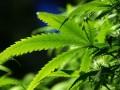 Крупнейший штат США узаконил рекреационную марихуану
