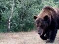 В Чернобыле заметили медведей, которых не было сто лет