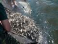 Впервые за 7 лет Киевское водохранилище зарыбили более чем 15 тоннами мальков
