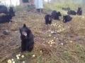 Жующие яблоки медведи стали звездами сети