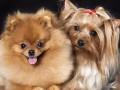 Йорк против шпица: в суде Львова рассмотрели собачью драку