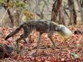 В Индии спасли волка, застрявшего в пластиковом контейнере