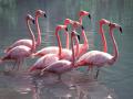 В Херсонскую область прилетели розовые фламинго