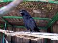 В харьковском зоопарке показали говорящего ворона
