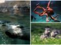 Животные недели: кабанье трио, привет от выдры и мускулистый осьминог