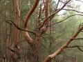 На фото показали сосны из Чернобыля необычной формы