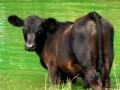 В Великобритании мужчину судили за попытку соблазнить корову
