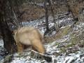 В Китае опубликовали видео редкой панды-альбиноса