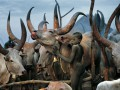 Среди буйволов и в корсетах: жизнь коренного народа Южного Судана (фото)