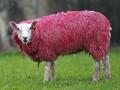 Животные недели: розовая овца и семейство сурикатов (фото)