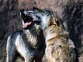 Немецких солдат испугали волчата