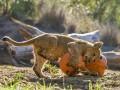 Животные недели: Хэллоуин в зоопарках мира (фото)