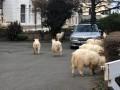 В Уэльсе стадо коз заполонило опустевший город