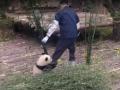 Панда требовала поиграть с ней, вцепившись в ногу сотрудника зоопарка