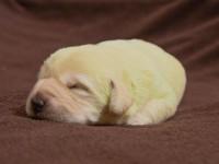 В Великобритании родился лабрадор с зеленой шерстью