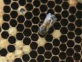 В Таиланде госпитализировали 76 монахов после атаки пчел: новые подробности