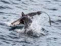 В Калифорнии морской лев напал на акулу и съел ее