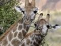 После ночной атаки вандалов на польский зоопарк погибли два жирафа