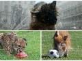 Животные недели: собака-умывака, кабан-футболист и гепард с мороженым