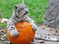 Снежный барс готовится к Хэллоуину: лучшие ФОТО животных недели