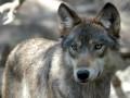 По улицам Алушты бродит волчица