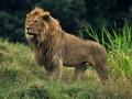 В Индии загадочно погибли сразу 11 львов