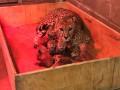 В США родилось рекордное число детенышей гепарда