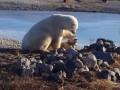 Невиданная нежность: в Сети показали белого медведя, который гладит собаку