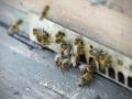 В Германии за убийство осы можно получить штраф в 65 тысяч евро